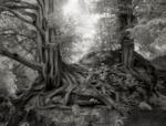 Beth Moon: Yews of Wakehurst