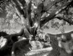 Beth Moon: Moreton Bay Fig