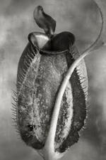 Beth Moon: Nepenthes Tomoriana