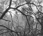 Blaine Ellis: Tree With Moss, #42b2, 2007