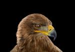 Brad Wilson: Tawny Eagle #1, St. Louis, MO, 2012