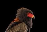 Brad Wilson: Bateleur Eagle #1, St. Louis, MO, 2012