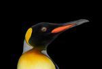 Brad Wilson: King Penguin #2, 2019