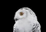Brad Wilson: Snowy Owl #2, Los Angeles, CA, 2015