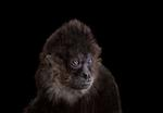 Brad Wilson: Spider Monkey # 1, Los Angeles, CA, 2011