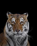 Brad Wilson: Tiger #7, Los Angeles, CA, 2016