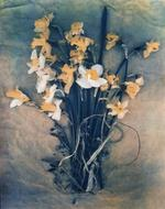 Diana Bloomfield: Daffodils & Forget-me-Nots , 2019