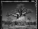 Elaine Ling: Baobab, Tree of Generations #29, 2010
