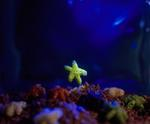 Ernie Button: 'Star' Fish