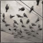 Hiroshi Watanabe: White Terns, Midway Atoll, 1999