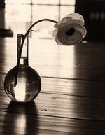 James Pitts: Ranunculus (clear vase, backlit on kitchen table), 1997