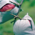 Jane Alden Stevens: Apples Outgrowing Their Bags #2, Fall, Aomori Prefecture