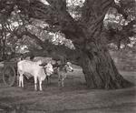 Elvira Piedra: Waiting Under a Tree, Pagan, Burma, 2002