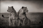 Nick Brandt: Lionesses Readying to Hunt, Maasai Mara, 2008