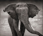 Nick Brandt: Elephant with Tattered Ears, Amboseli, 2008