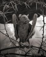 Nick Brandt: Calcified Bat II, Lake Natron, 2012