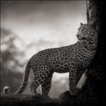 Nick Brandt: Leopard in Crook of Tree, Nakuru, 2007