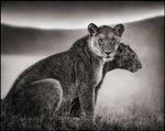 Nick Brandt: Sitting Lionesses I, Serengeti, 2002