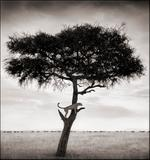 Nick Brandt: Cheetah in Tree, Maasai Mara, 2003