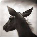 Nick Brandt: Portrait of Kudu, Laikipia, 2003